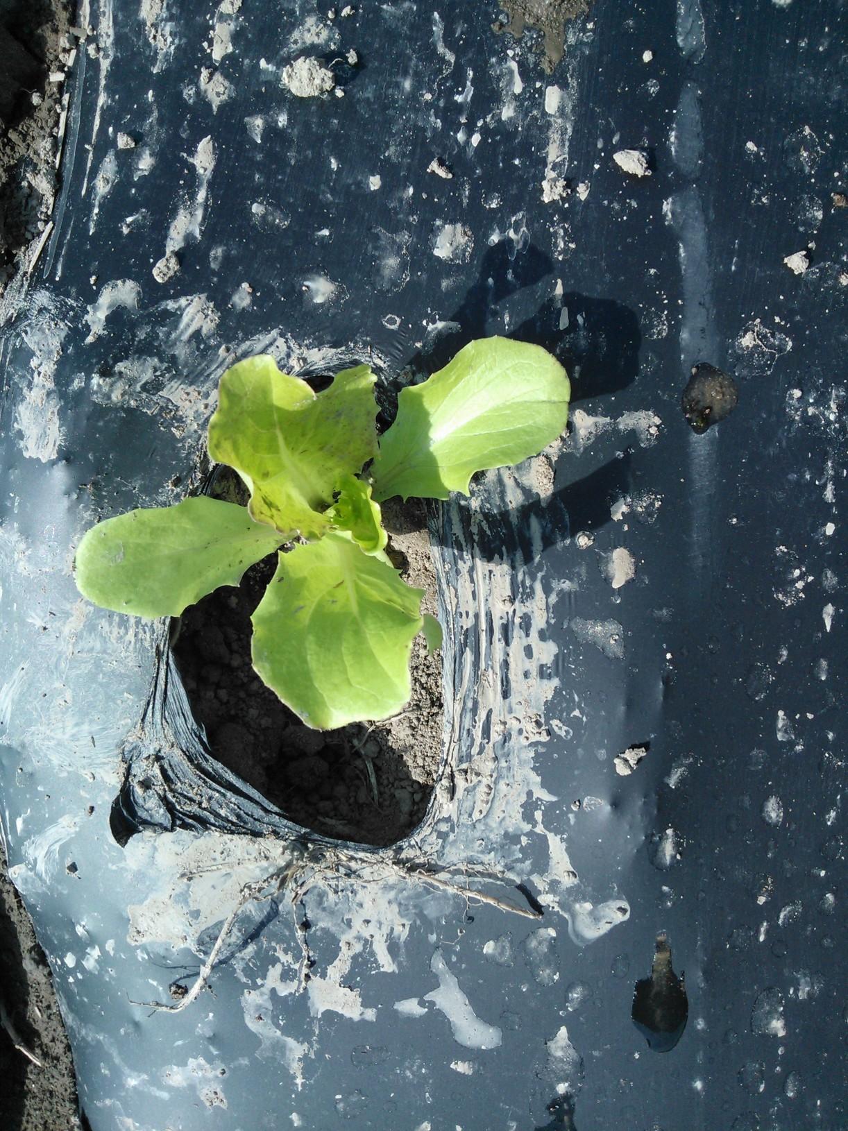 Omsa salaatti biokalvossa 9.5.2013