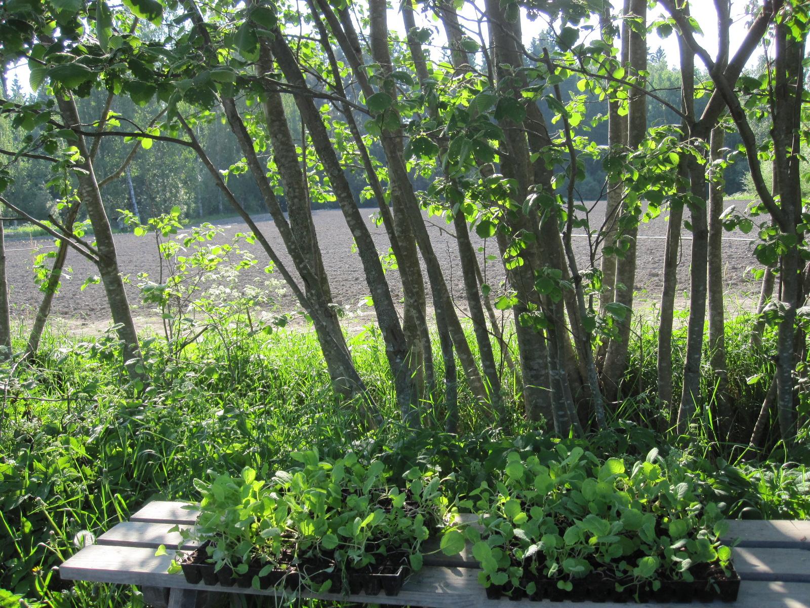 Lantun taimet odottavat murroon istutusta