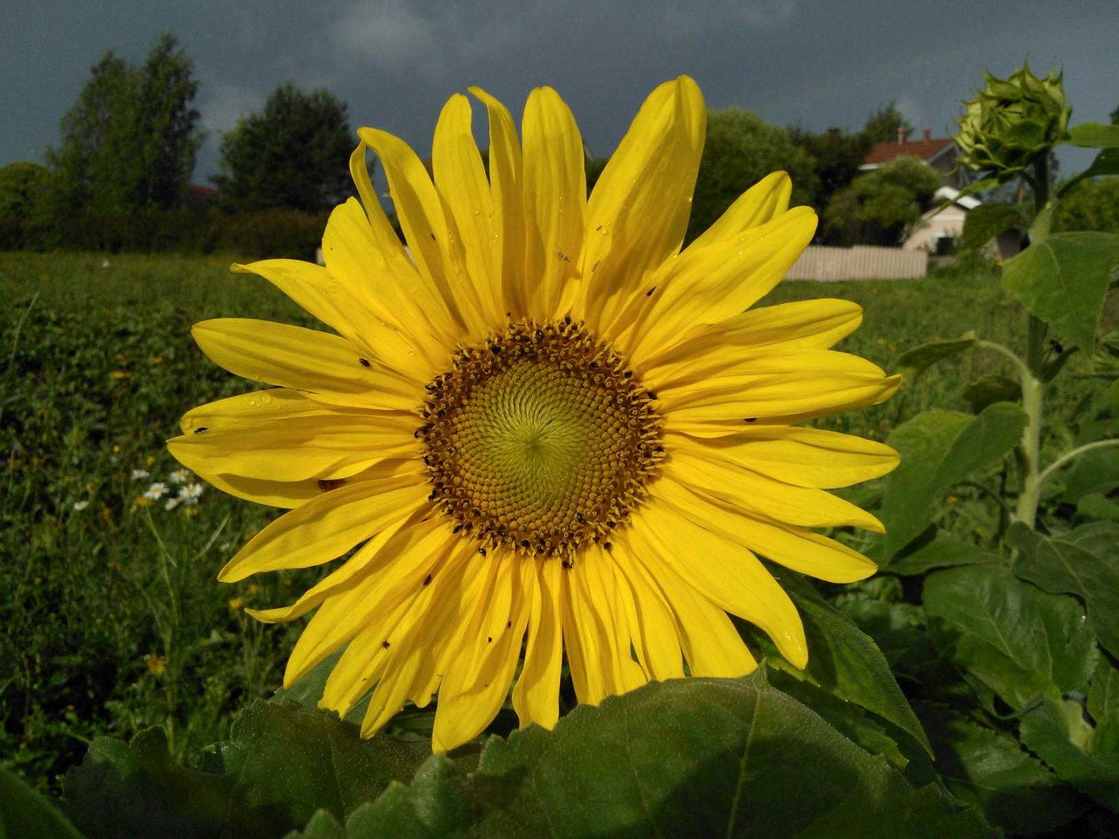 Auringonkukka omalla pellolla