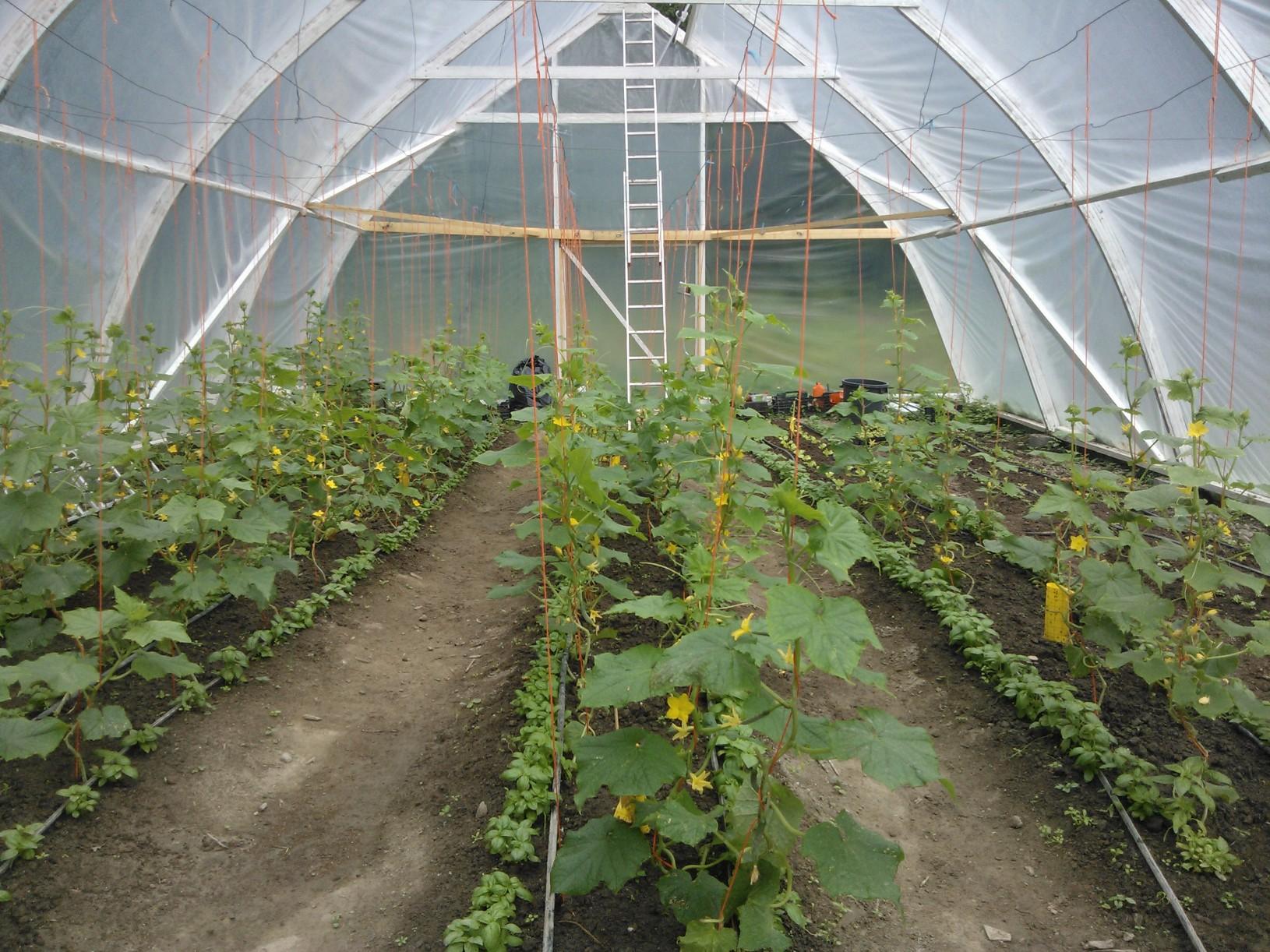 Omat kurkut, basilikat ja salaatit kasvavat nyt kasvihuoneessa