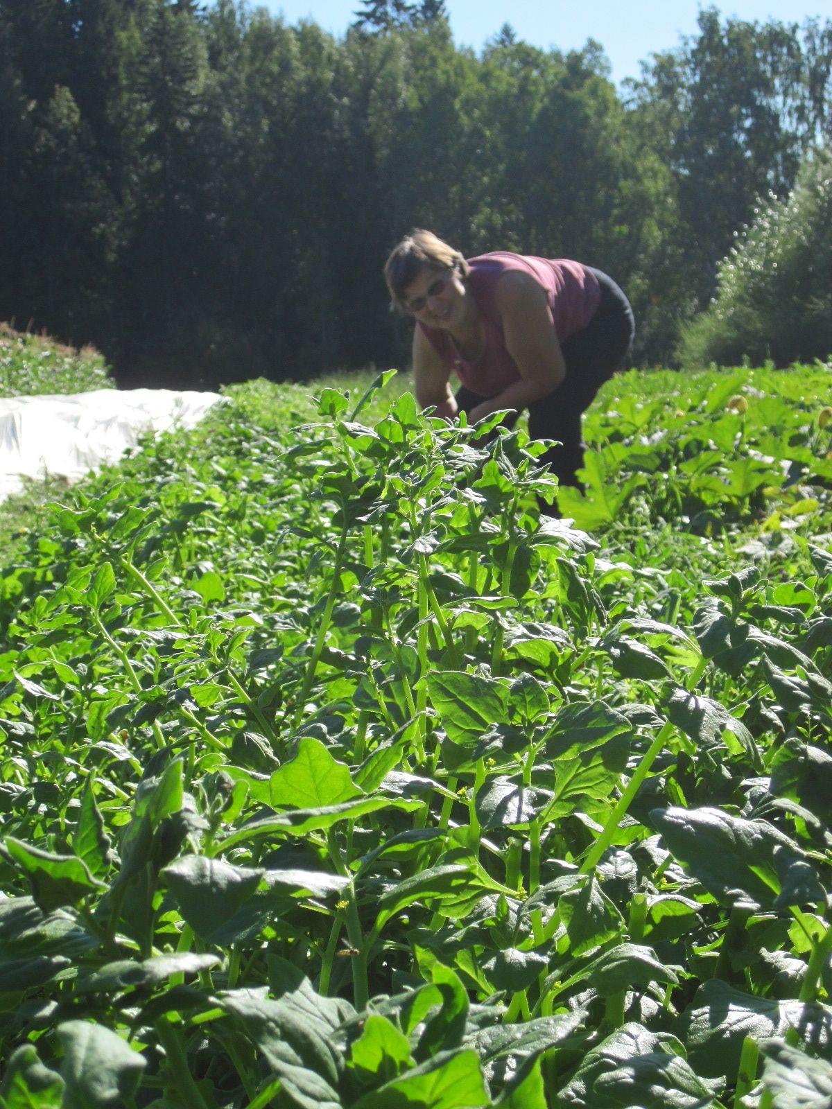 Marja-Liisa kerää pinaattia osuuskunnan sadonjakoon