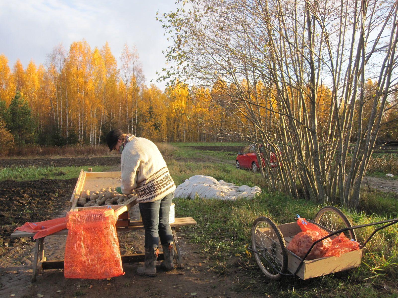 Pauliina lajittelee perunaa Omalla pellolla