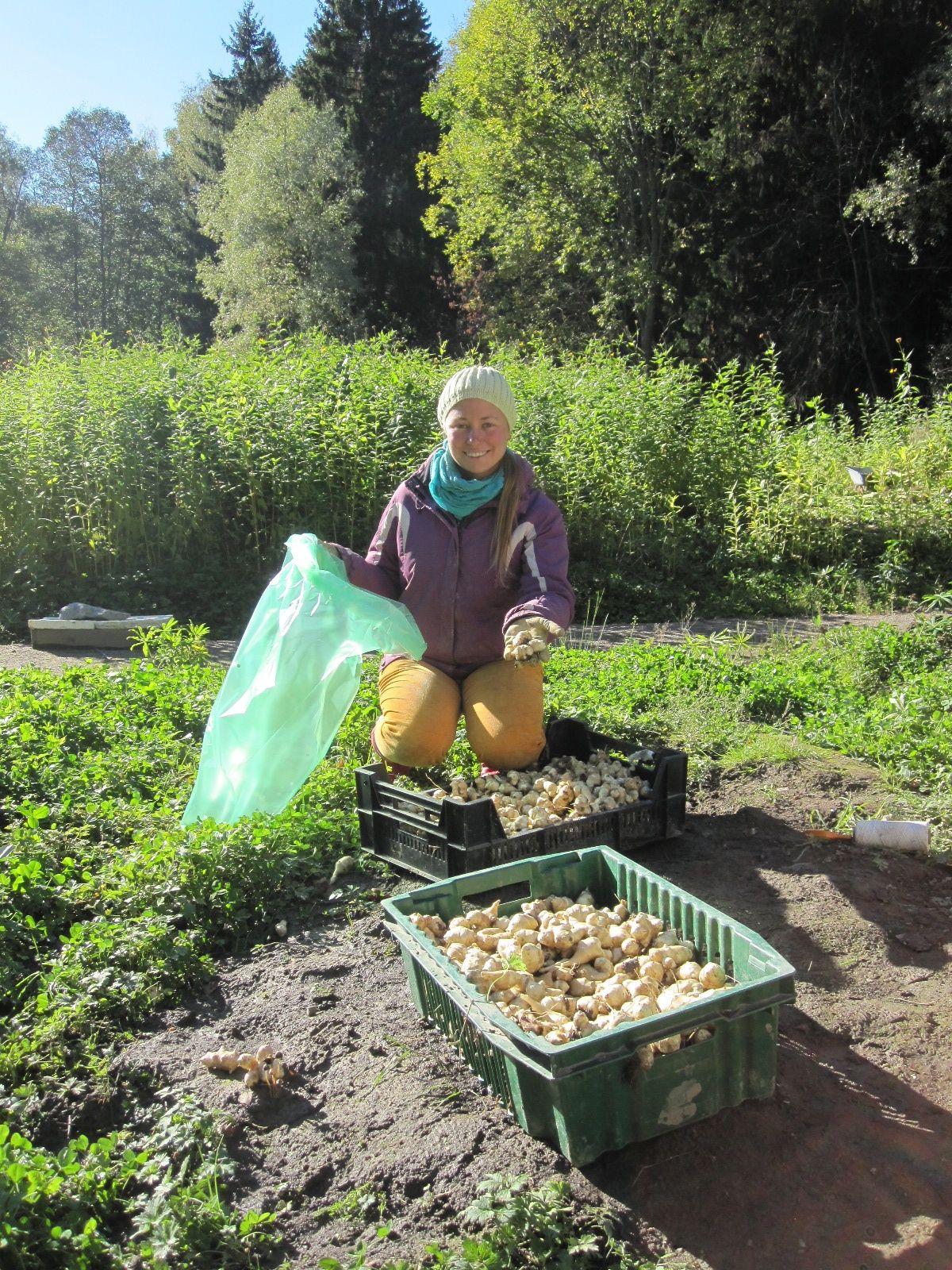 Heidi pussitttaa ensi viikon sadonjaon maa-artisokkaa