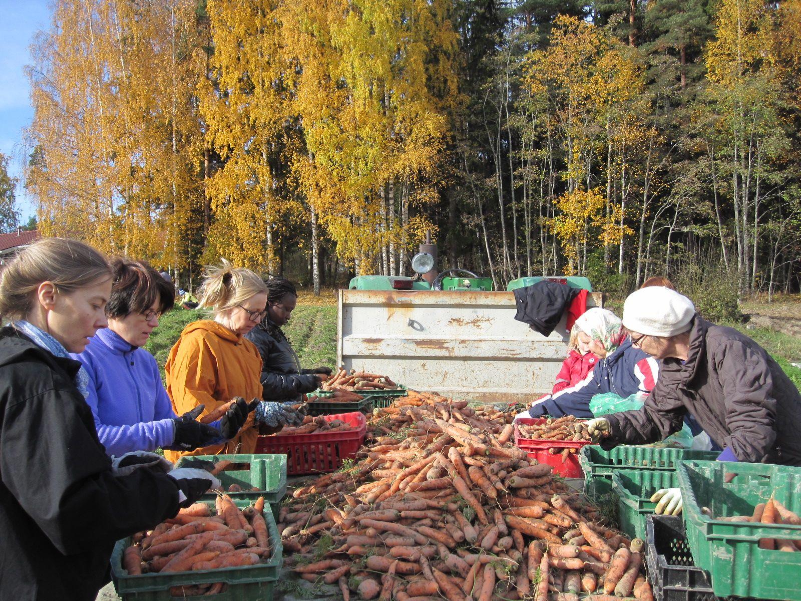 Porkkanan lajittelu viime sunnuntain talkoissa