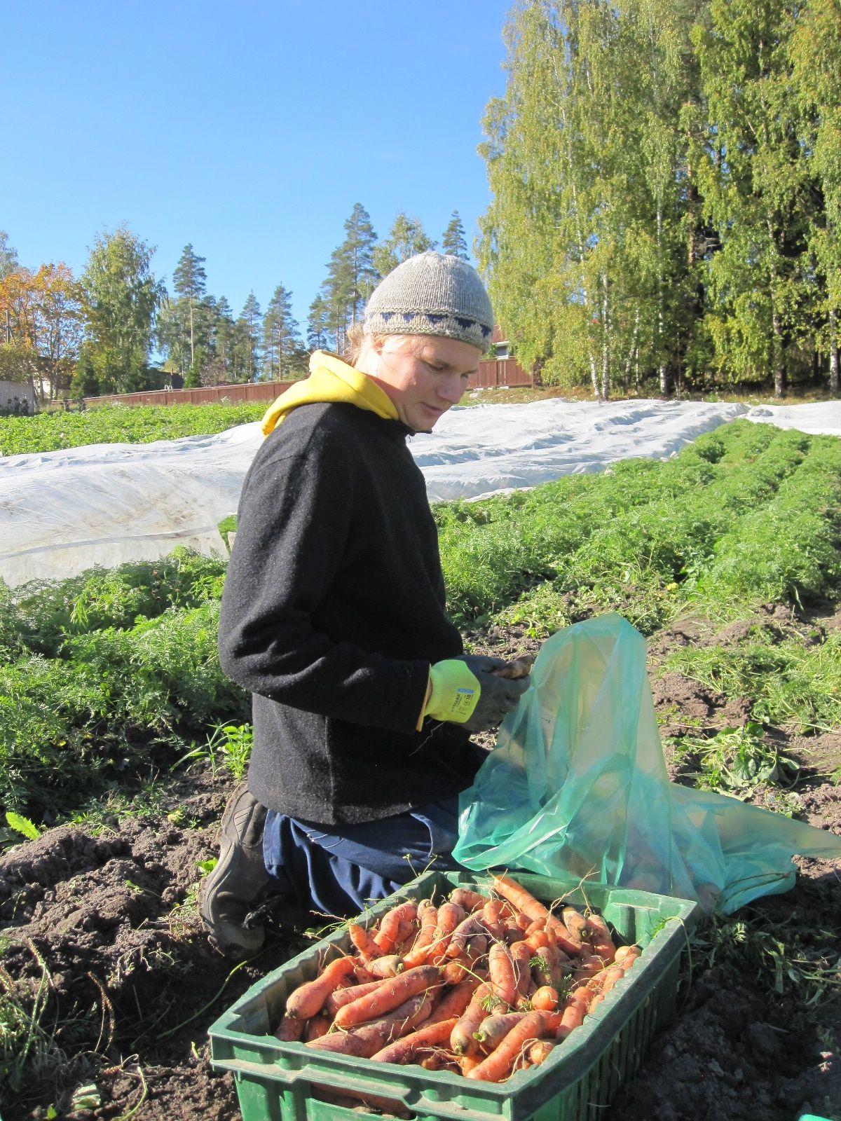 Tuomas pussittaa omaa porkkanaa pellolla