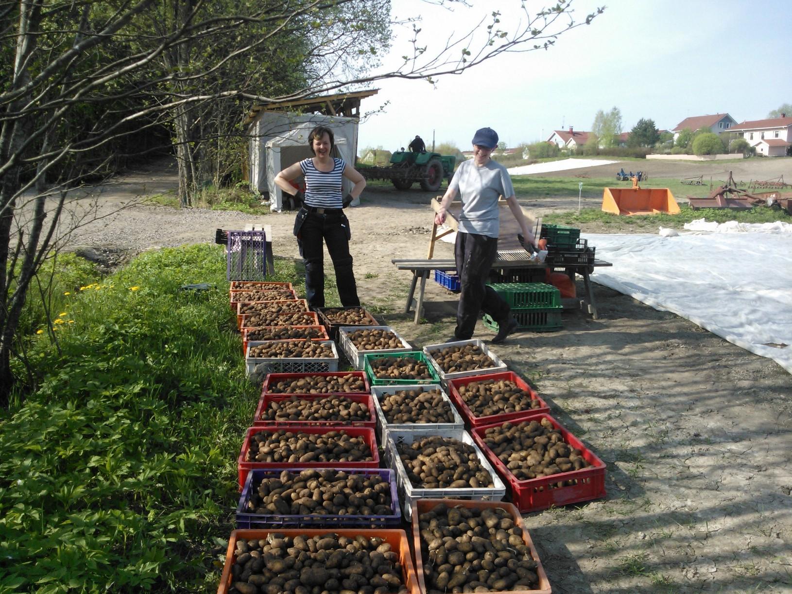 Överbyn harjoittelijat Maria & Sari lajittelevat siemenperunaa