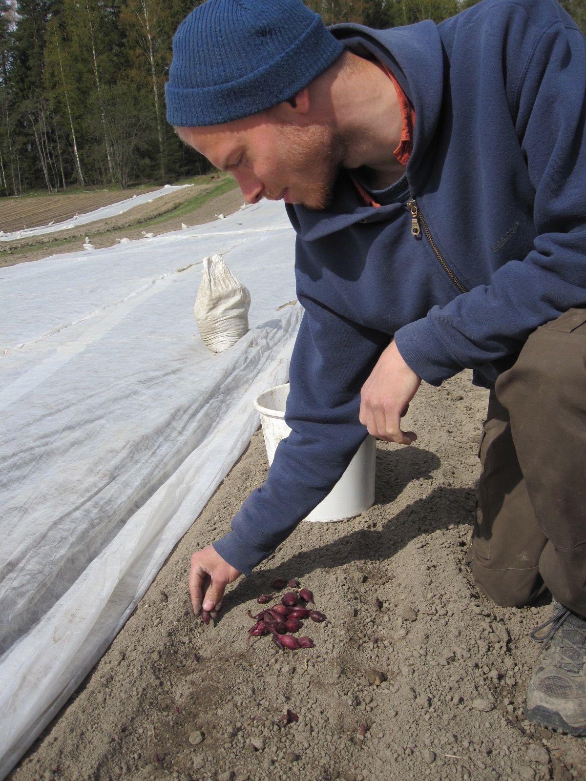 Harjoittelijamme Tomi istuttaa punasipulia