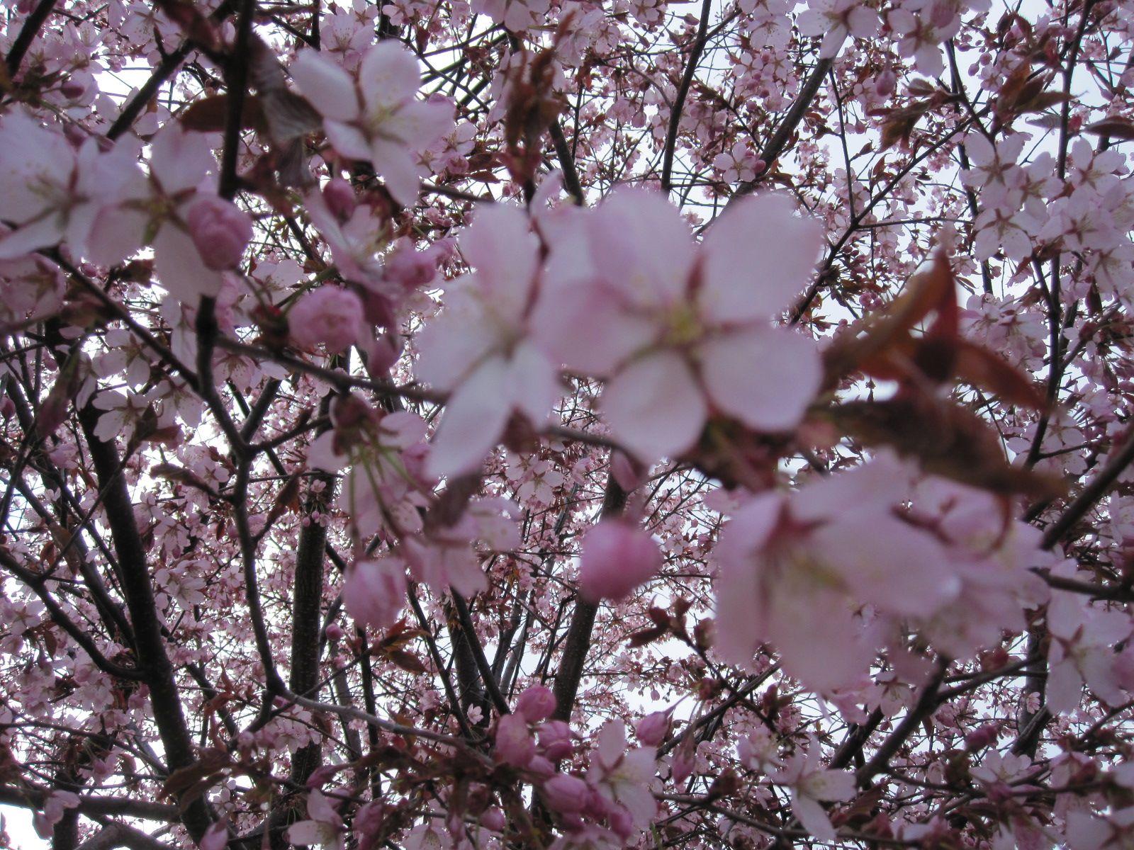 Kirsikankukkia 2.5.