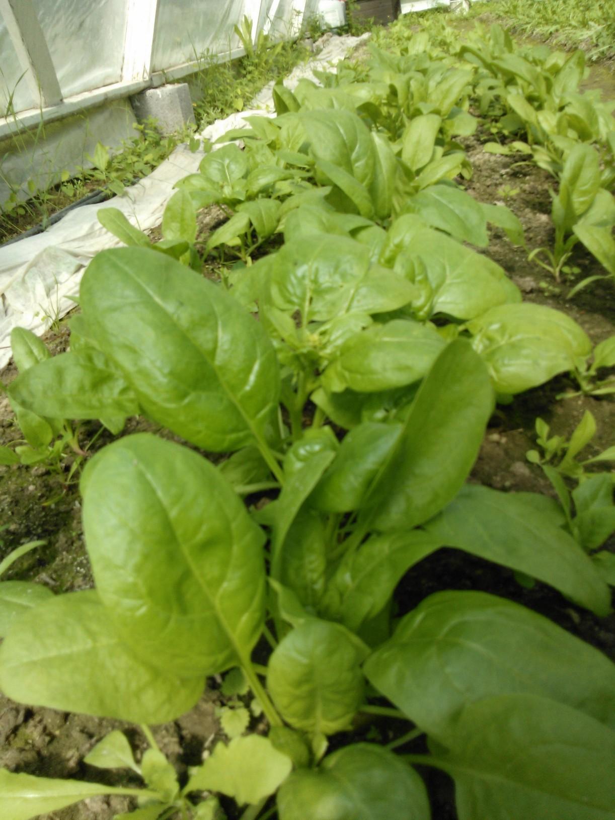 Oma pinaatti kasvoi kasvihuoneessa ennen jakoa