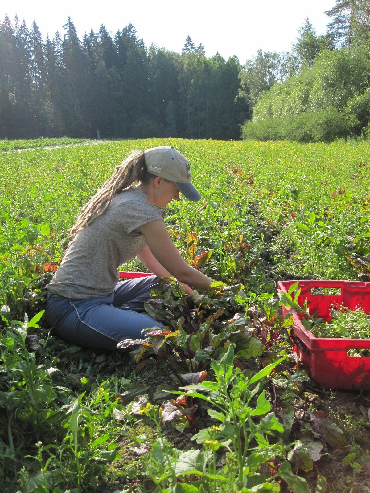 Kvt-vetäjä Anna kitkee punajuurta, tunnistatko syötävän rikkakasvin etualalla? Leiriläiset tunnistavat jo savikan ja tostain retken jälkeen paljon muitakin luonnonkasveja.