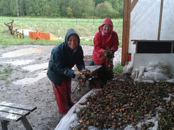 Heidi ja Anniina laittavat sipulia kuivumaan