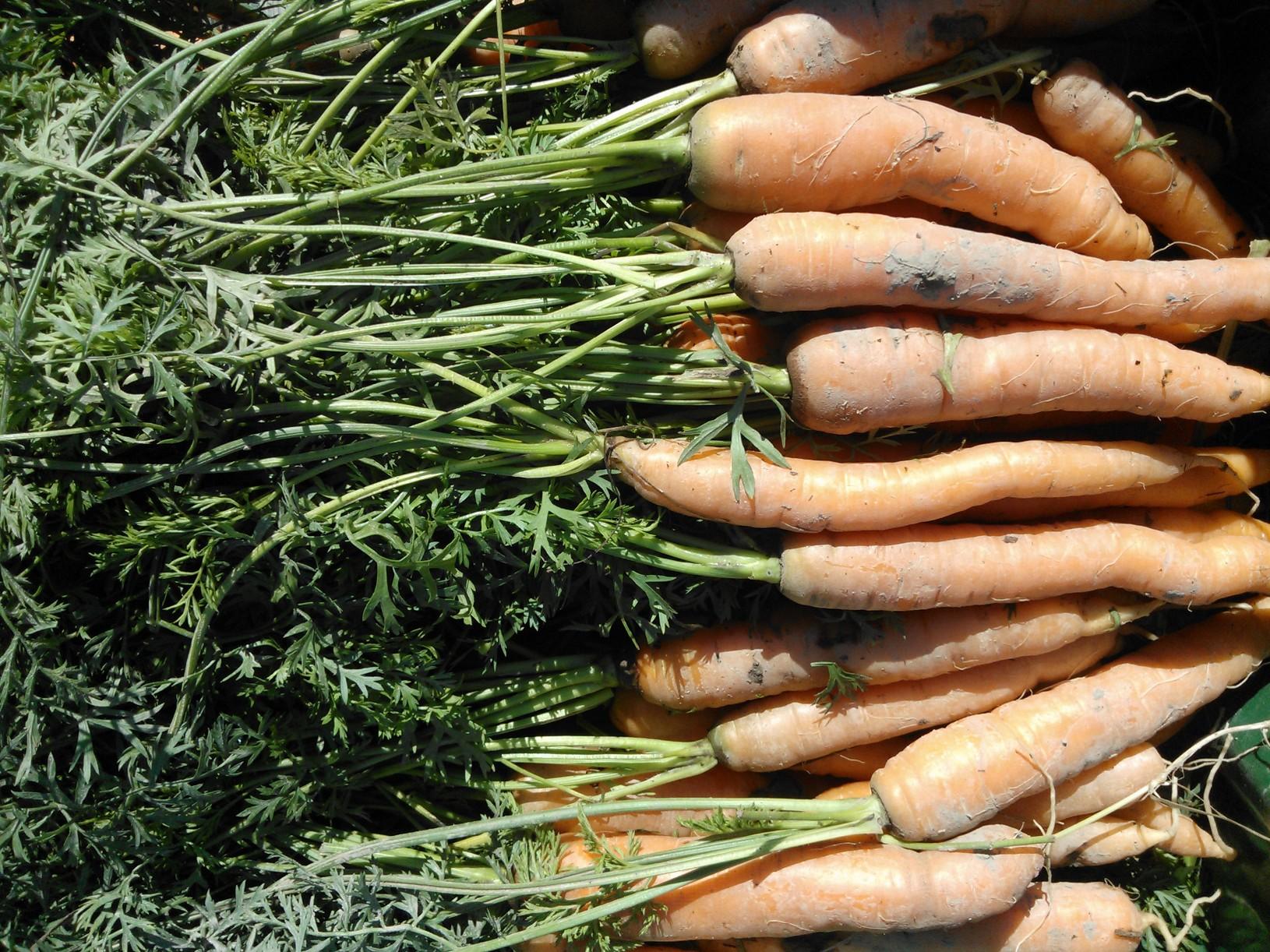 Omien porkkanoiden jako alkoi tällä viikolla. Ne eivät ole F1-hybrideitä  eli jokainen on yksilö ja sen huomaa maussa!