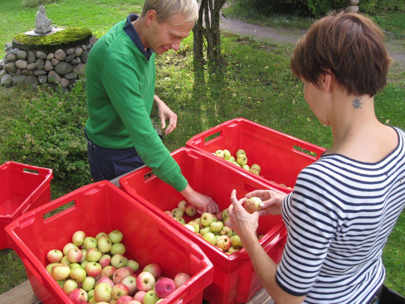 Omenoiden lajittelua mehuksi ja jakoon