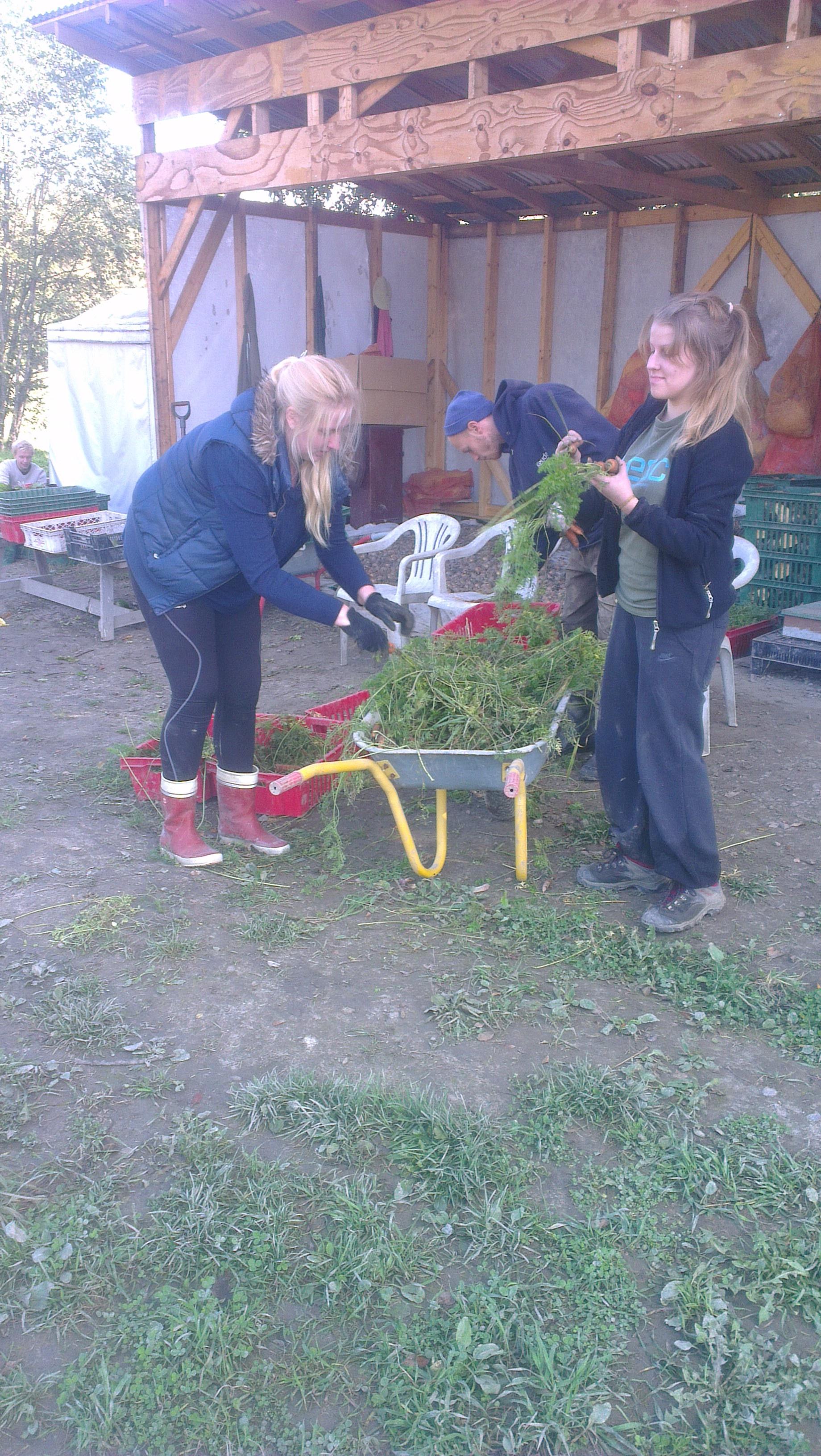Perholaisia lajittelemassa sadonjaon porkkanaa Tomin kanssa