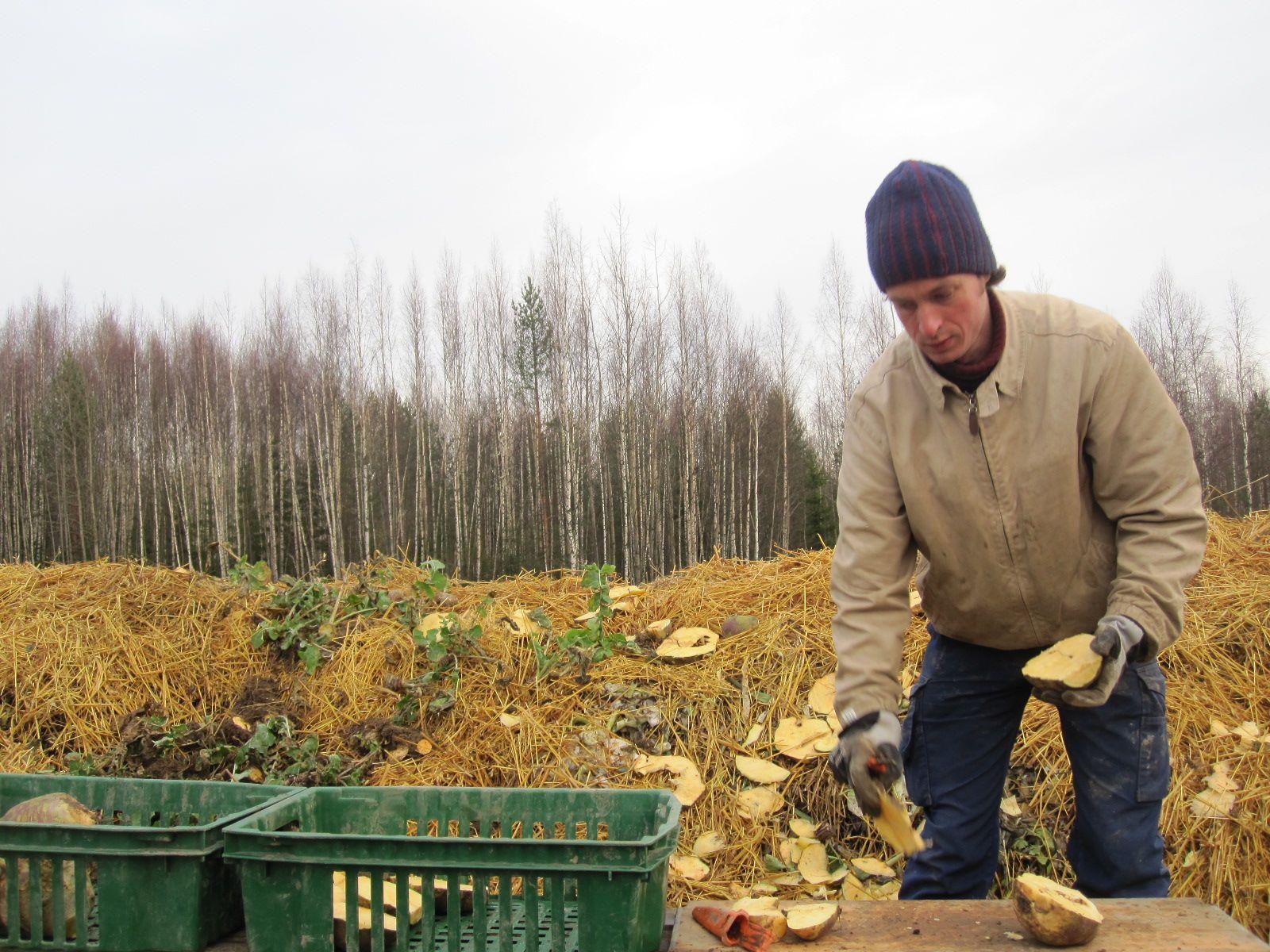 Sandron tapasi usein kasvukausen aikana kompostin vierestä täysin keskittyneenä lanttuihin