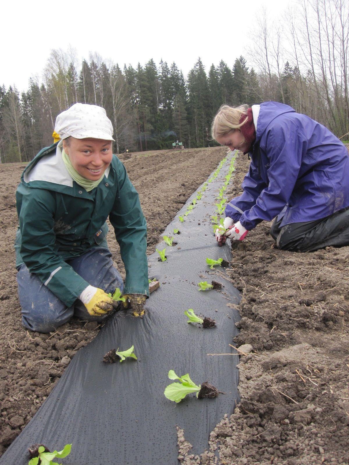 Salaatin istutusta biokalvoon