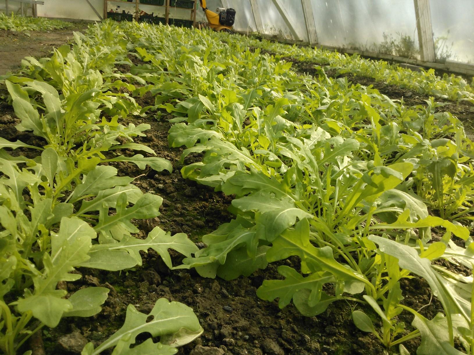 Rucolat kasvavat kohti juhannusviikon sadonjakoa