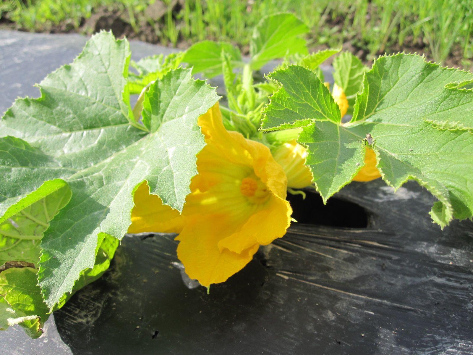 Kesäkurpitsakin on alkanut kukkimaan kaiken lomassa, sekin valmistautuu 28.7. jälleen alkavaan sadonjakoon.