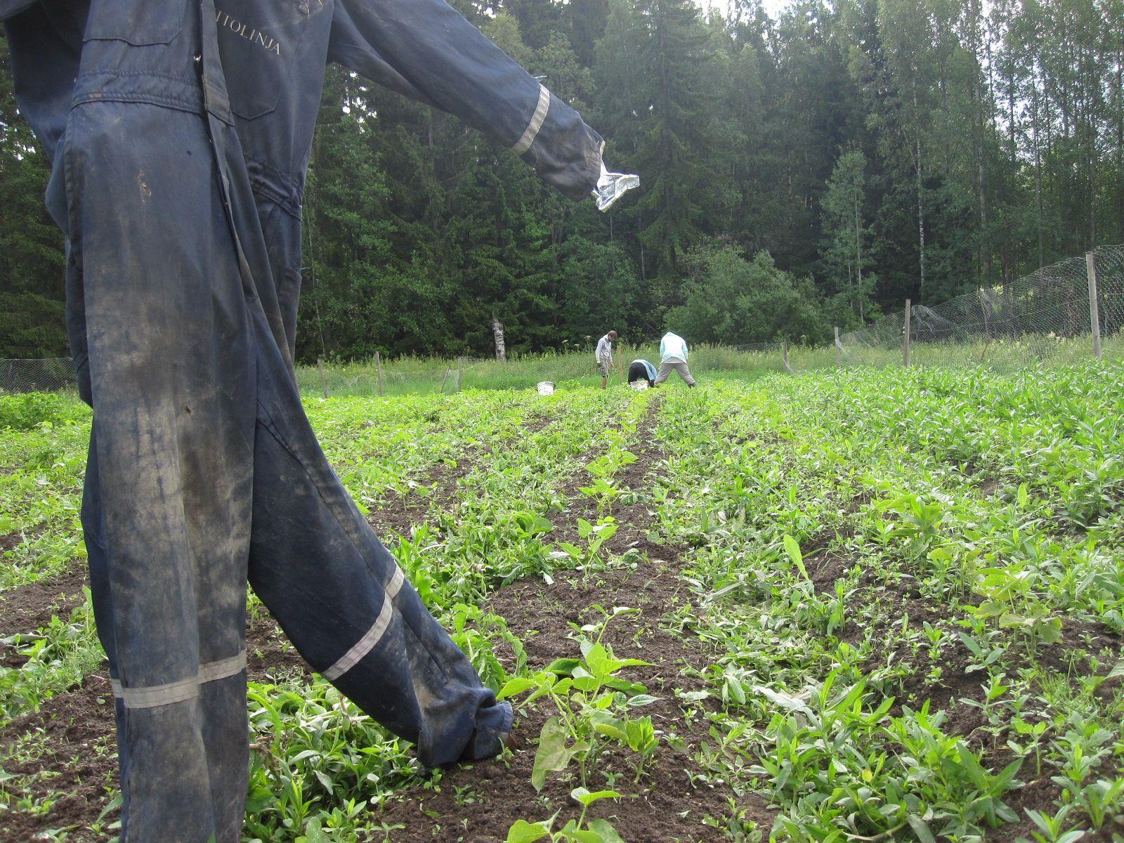 Kvt-leirin kitkemä ja paikkausistuttama papumaa