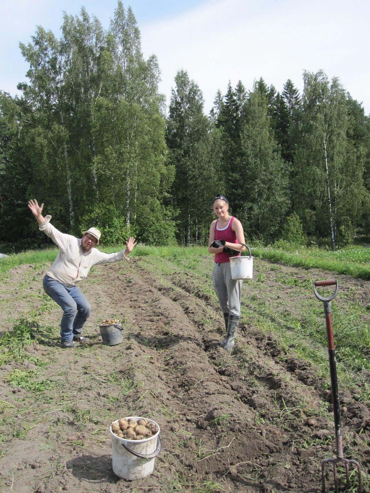 Pentti ja Johanna nostavat perunaa