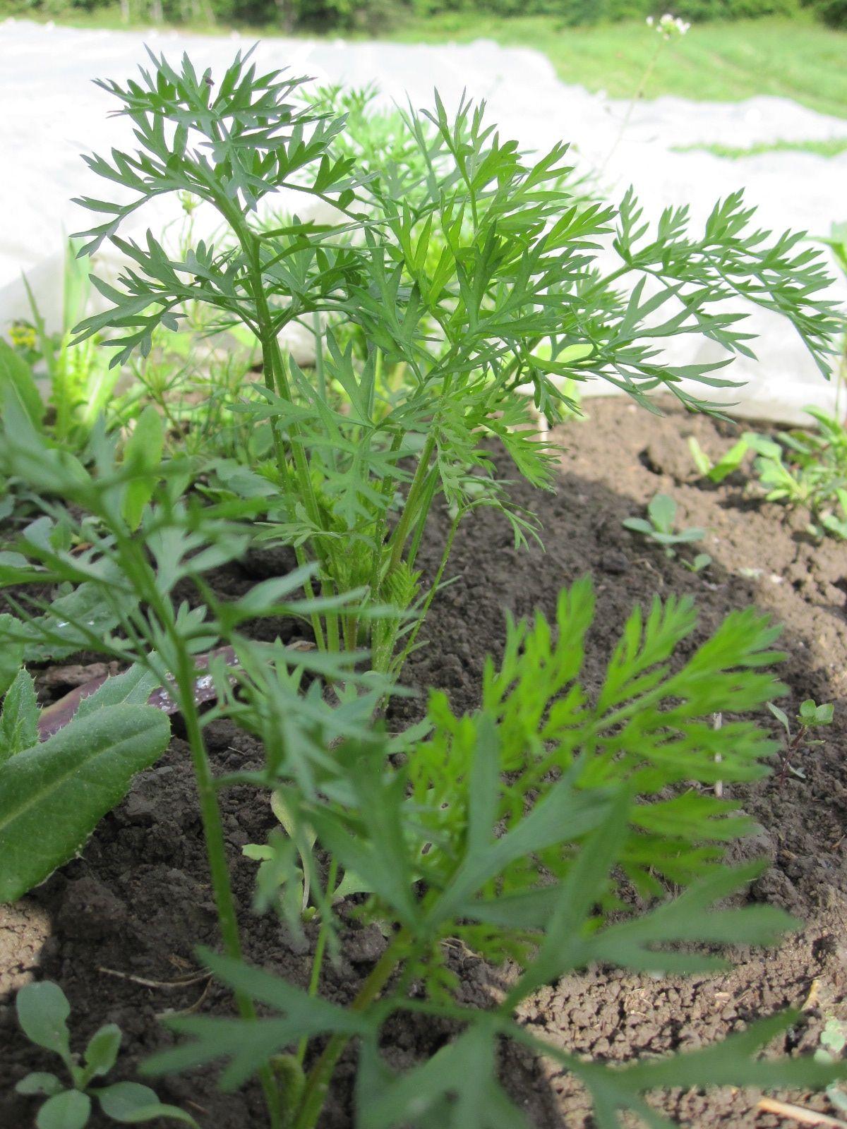Viime viikolla kitketyt porkkanat kiittävät ja ovat lähteneet hyvään kasvuun