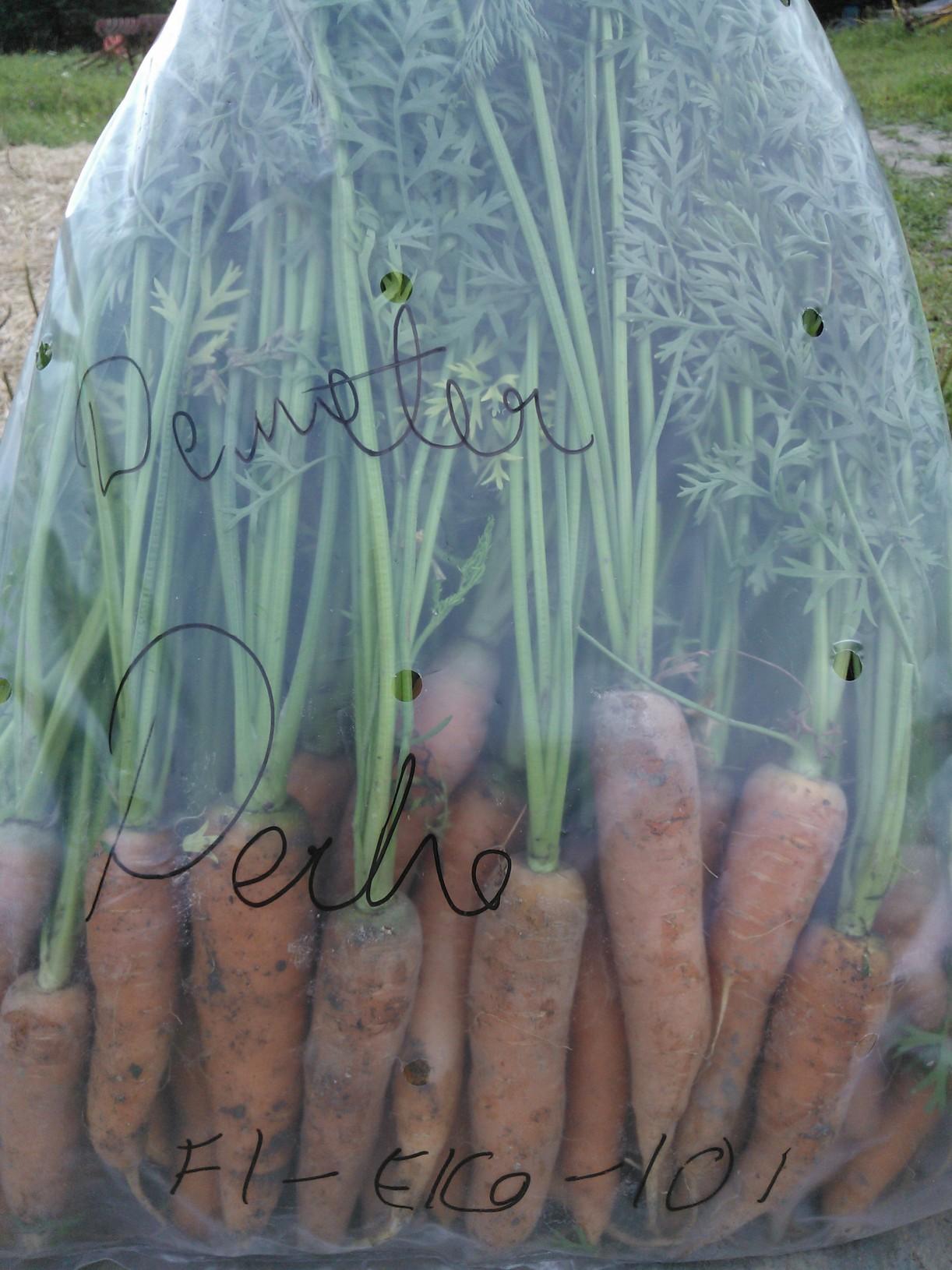 Ensimmäiset Demeter(biodynaamisen viljelyn tuotemerkki)-porkkanamme tänä vuonna