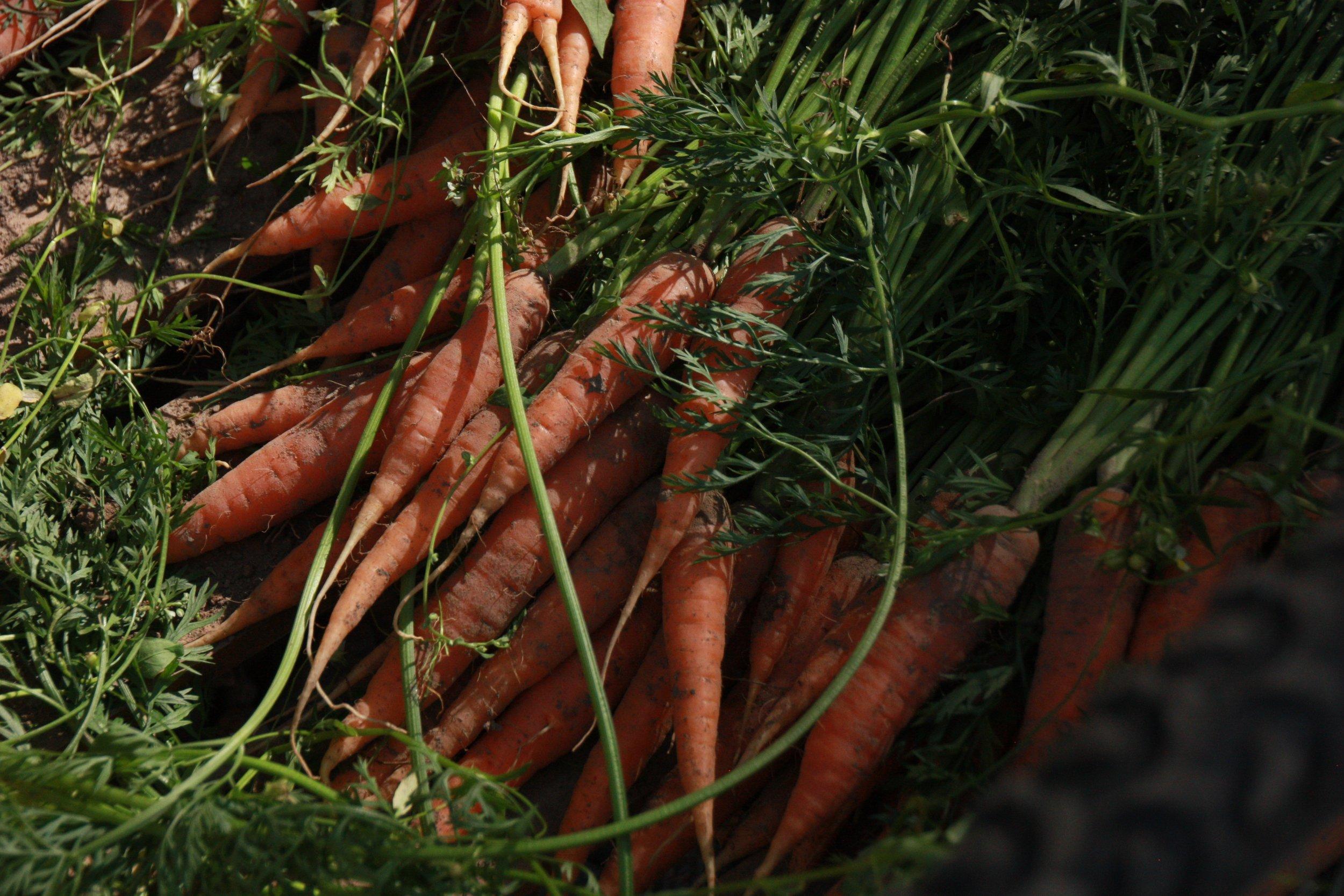 Kuva: Katja Lahtinen; Oman pellon demeter-porkkanat