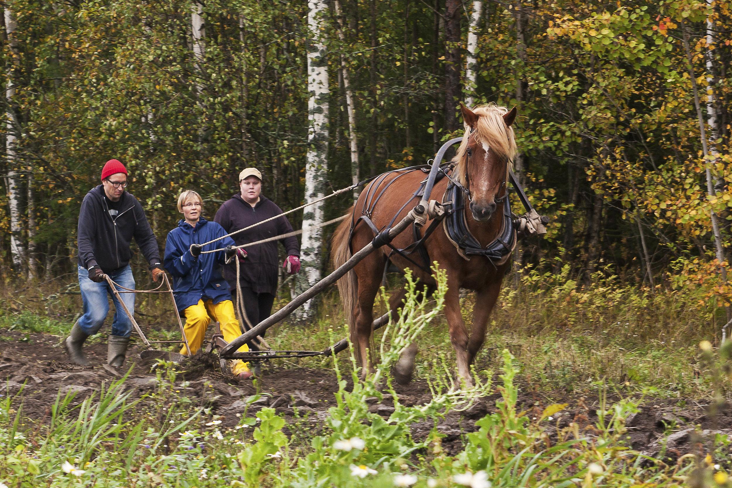 Työhevonen Uuras oli ensi kertaa pellolla. Saimme kokeilla äestystä ja kyntöä hevosella.