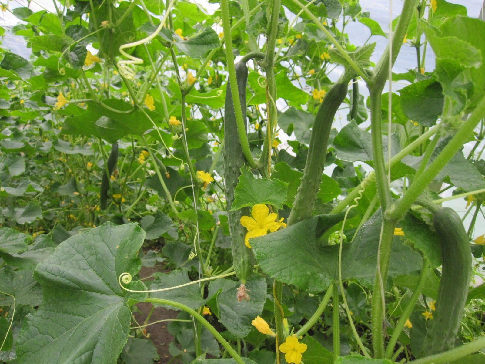Mustosen puutarhan kasvihuoneen Omat kurkut