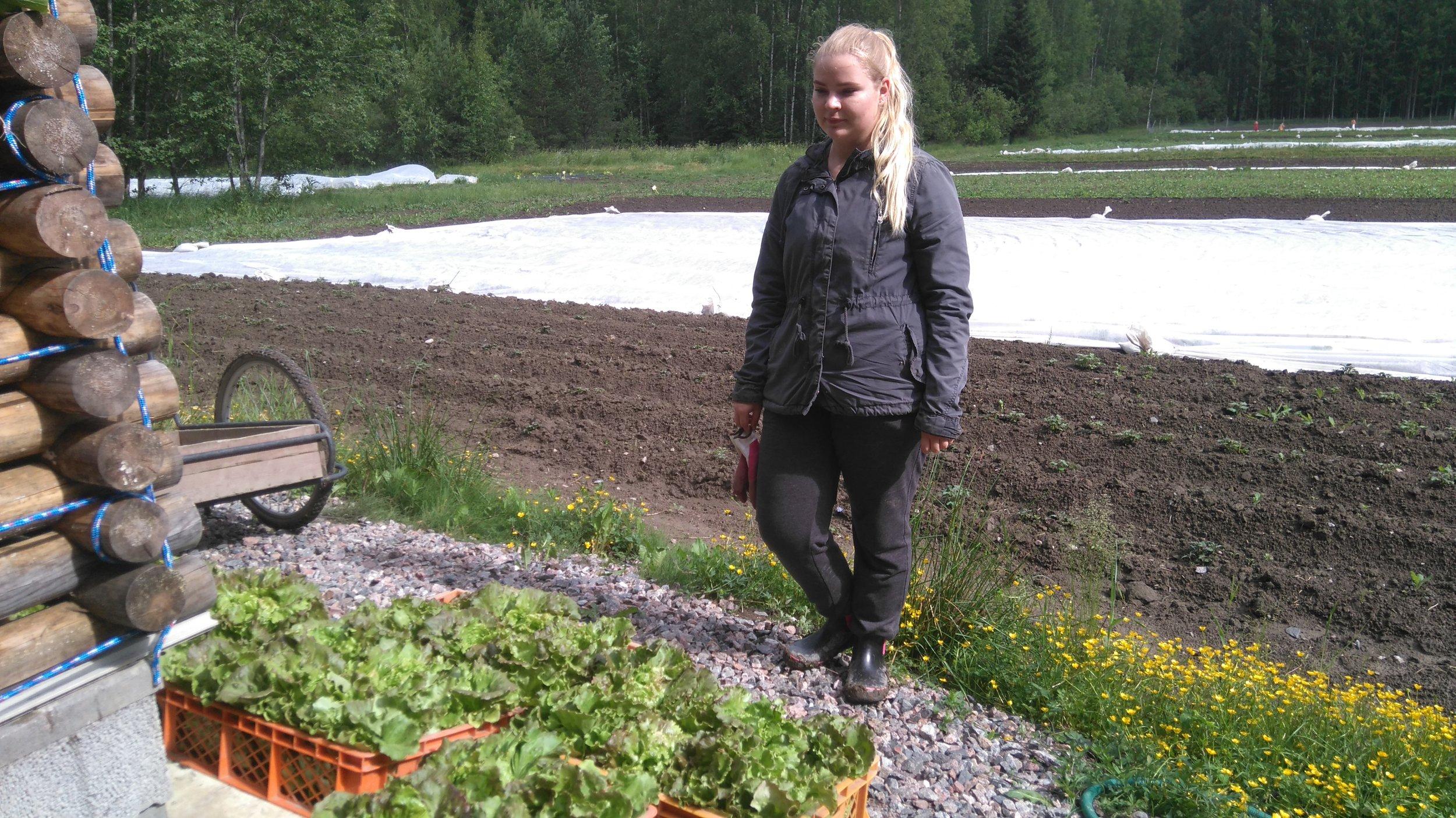 Kesätyöntekijä Pinja sadonkorjaamassa salaattia sadonjakoihin