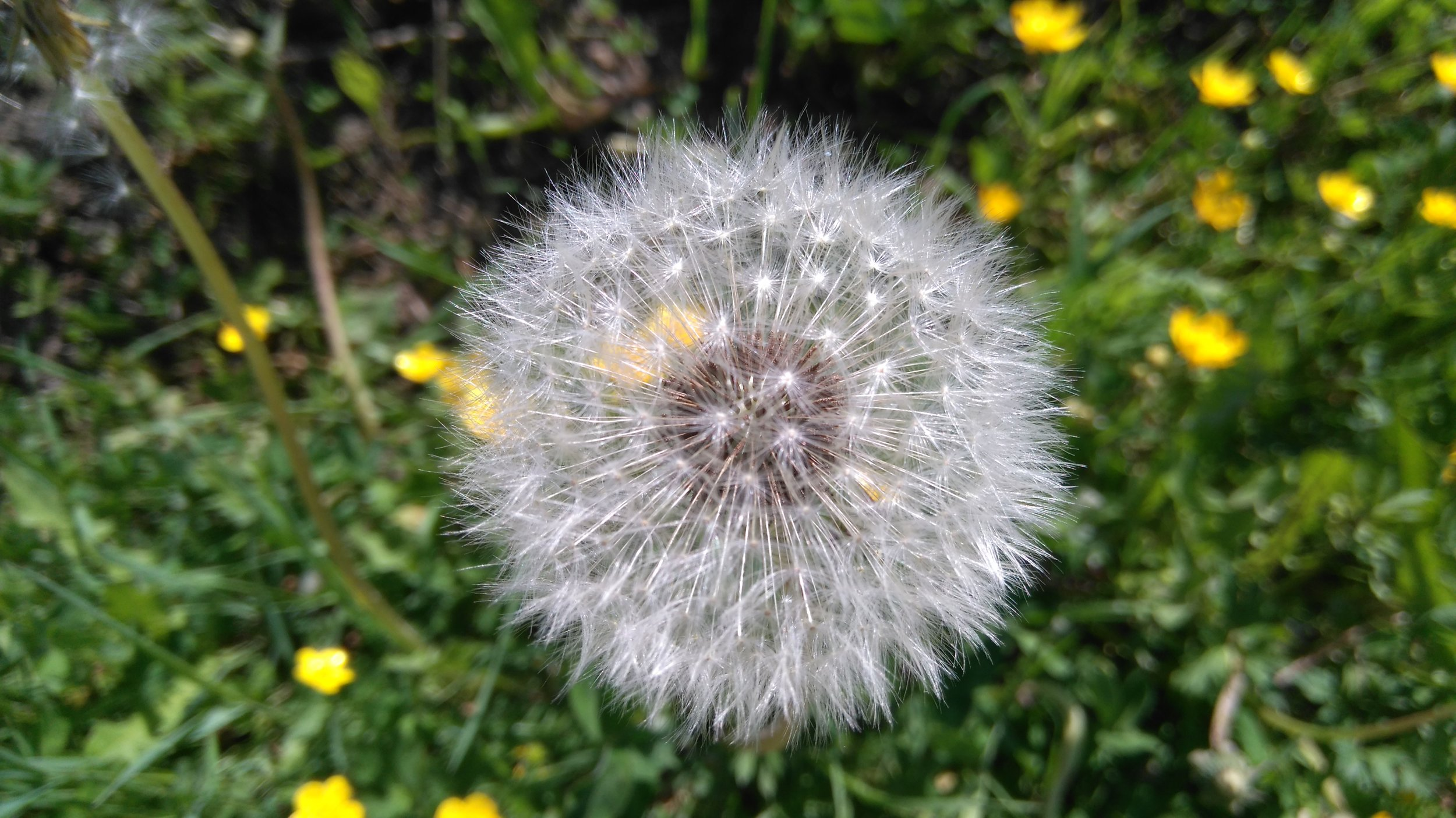Kosminen ja maanomainen voikukka pellolla tällä viikolla