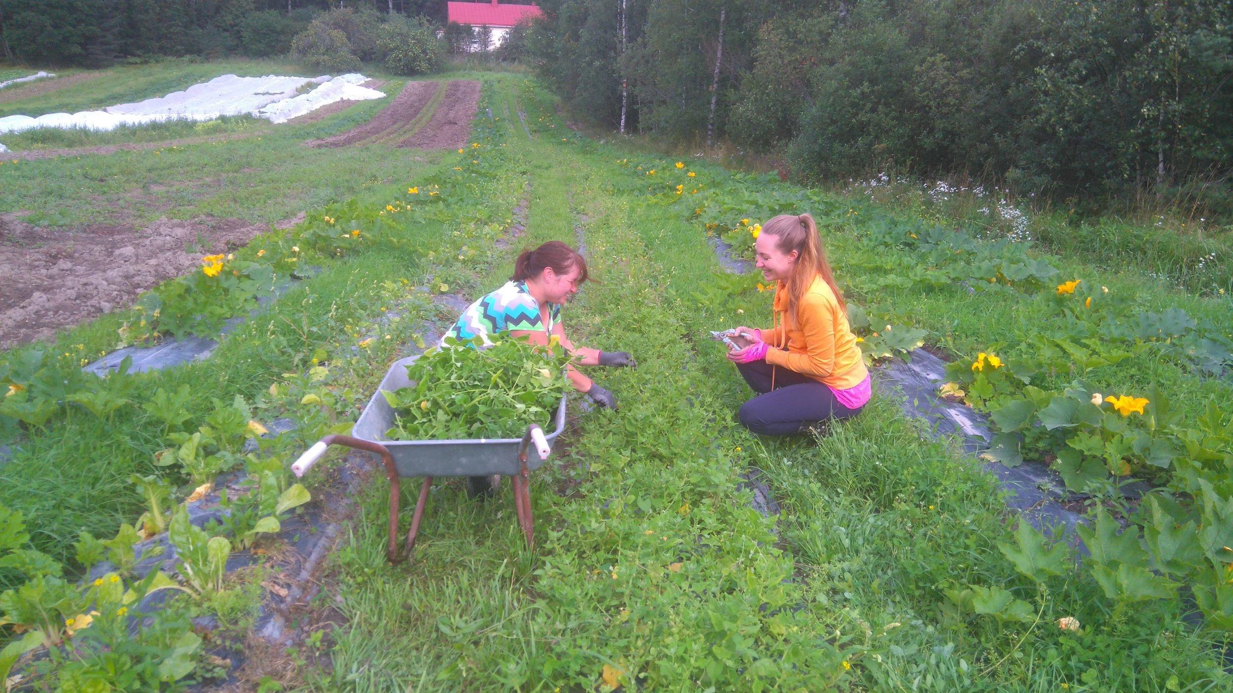 Harjoittelijamme Eriikka & Minna sadonkorjaavat lamopinaattia