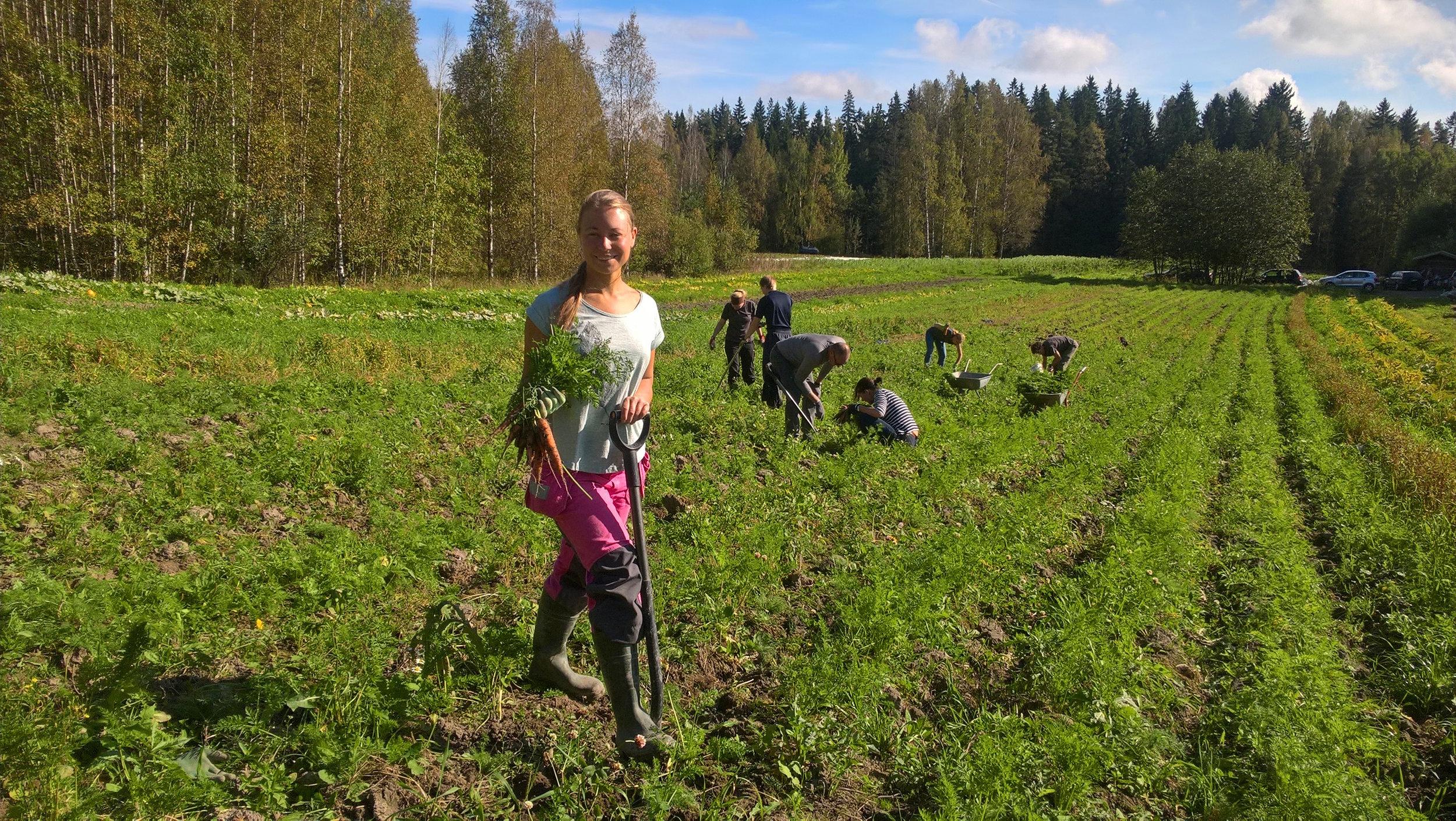 Heidi nostaa porkkanaa talkoissa