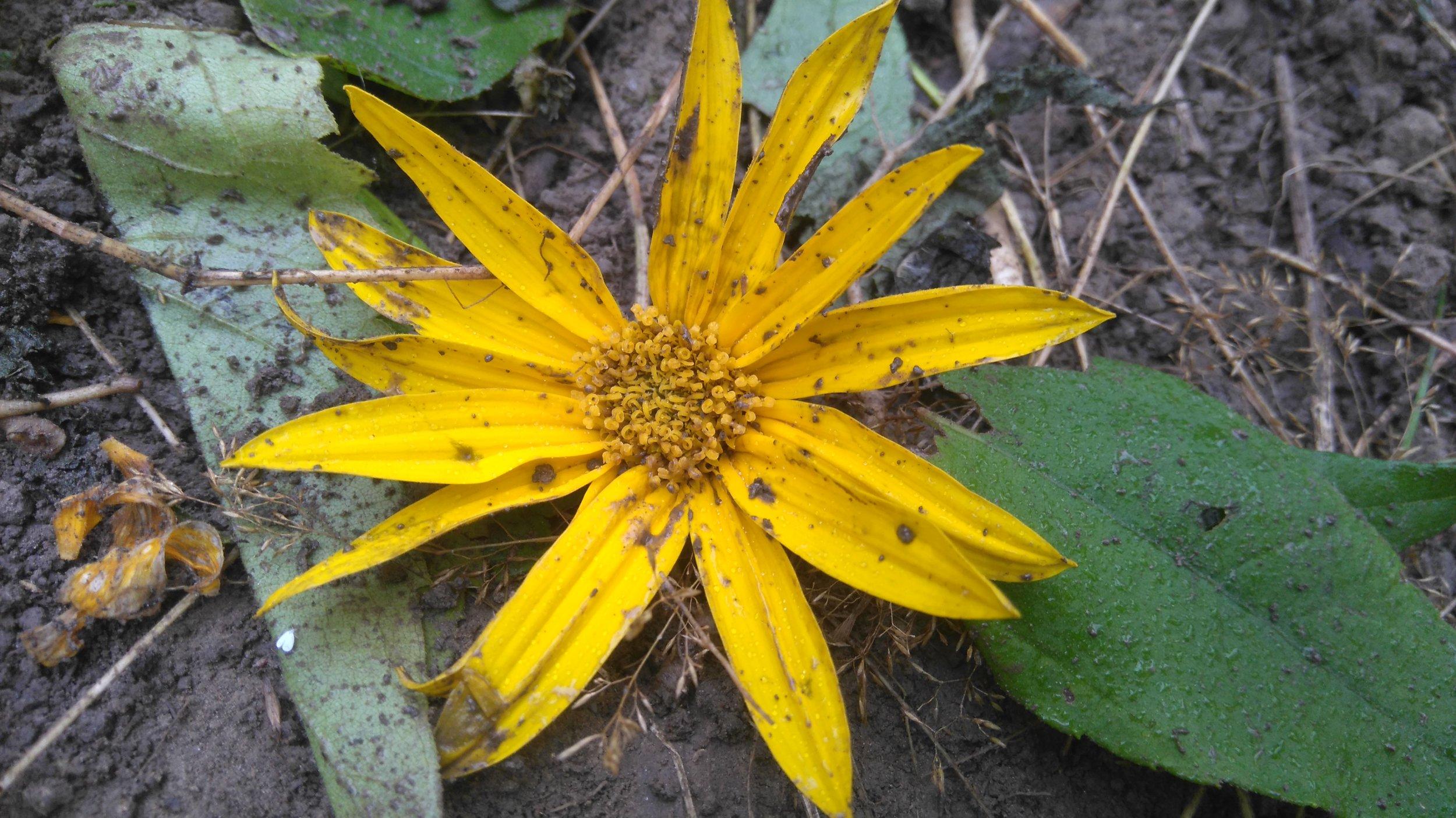 Maa-artisokan kukka