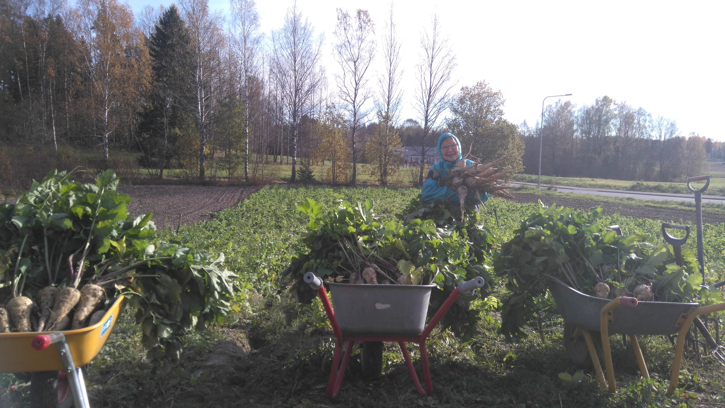 Osuuskuntalaisemme Marja-Liisa palsternakan nostossa