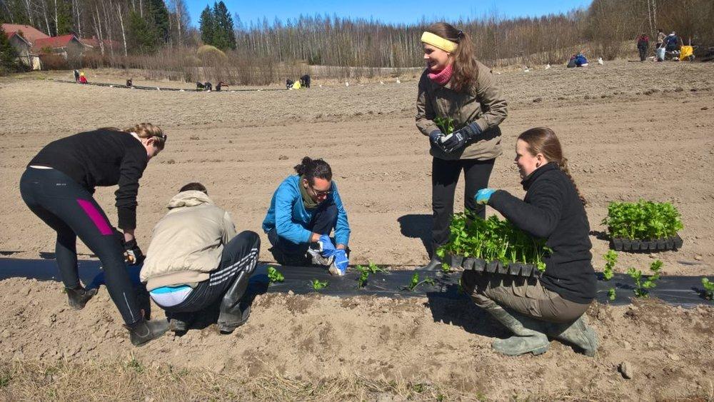 Mari-Johanna ja opettajaopiskelijat istuttavat selleriä