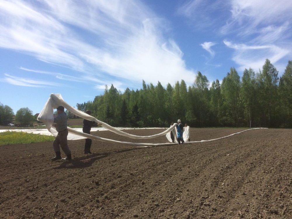 Kuva: Mari-Johanna Rintamäki; Harsot laitetaan luomuviljelyssä mm. ehkäisemään tuholaisia
