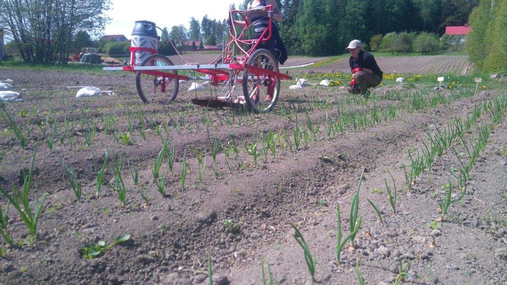 Emilia ja Mari-Johanna liekittävät sipuleilta rikkakasveja