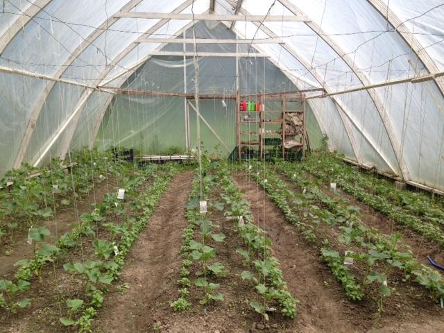 Mustosen kasvihuoneeseen on rukolan korjuun jälkeen istutettu kasvihuonekurkkua ja basilikaa.
