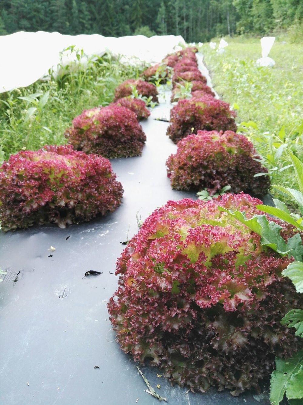 Korjuukypsät Lollo Rossa -salaatit biokalvopenkissä. Kuva: Milja Juola
