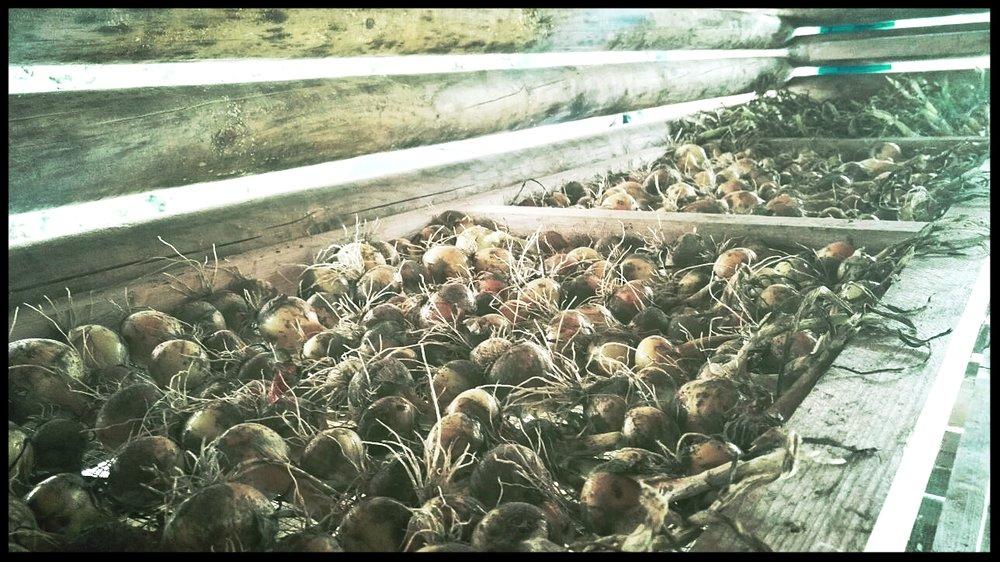 Ensimmäinen hylly täynnä kuivumaan menneitä sipuleita. Vielä oli voimia keskittyä valokuvaamiseen.