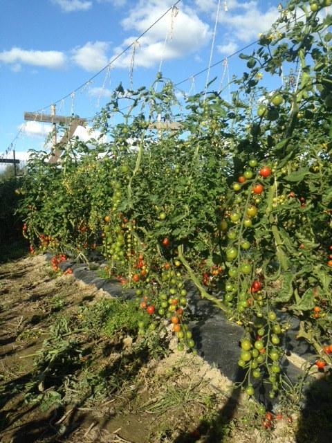 Tomaatit kypsyvät Livonsaaren osuuspuutarhalla.