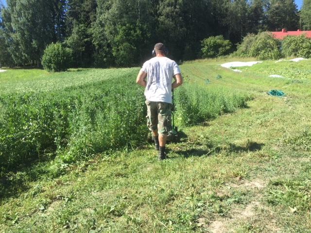 Nyt on kaikki keinot sallittuja: pellon harjoittelija Vesa ajaa härkäpapujen välejä