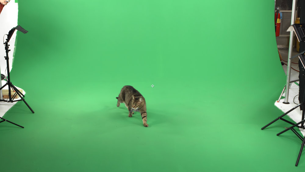 Cat green screen shot