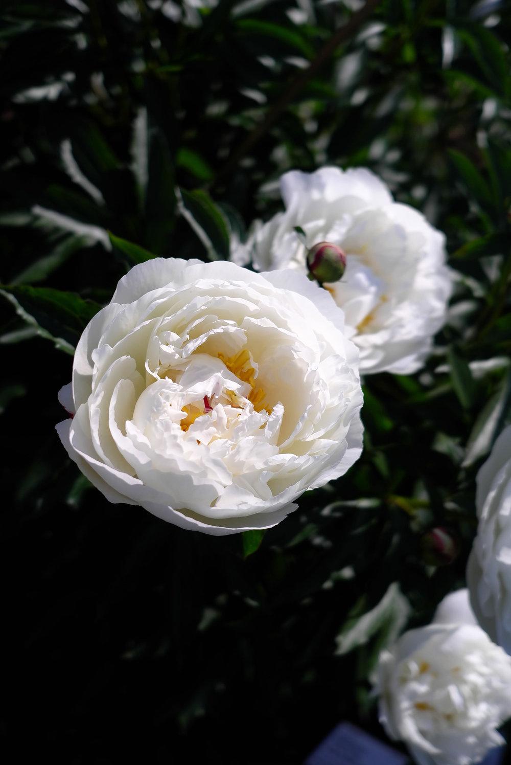 Loziaze_Oslo-Rose_01