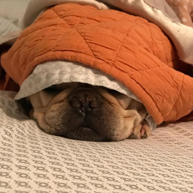 TGIF #frenchbulldog #frenchiesofinstagram #tgif #threedayworkweek #imnotleavingmybed