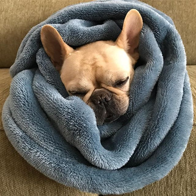 When it's cold outside, but taco Tuesday inside, you make yourself a burrito #frenchbulldog #tacotuesday #winter #babyitscoldoutside