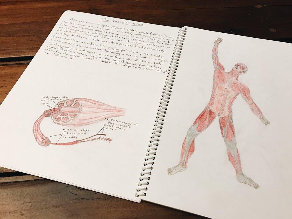 A sample of the main lesson book of an 8th grader studying the muscular system.   8th Grade