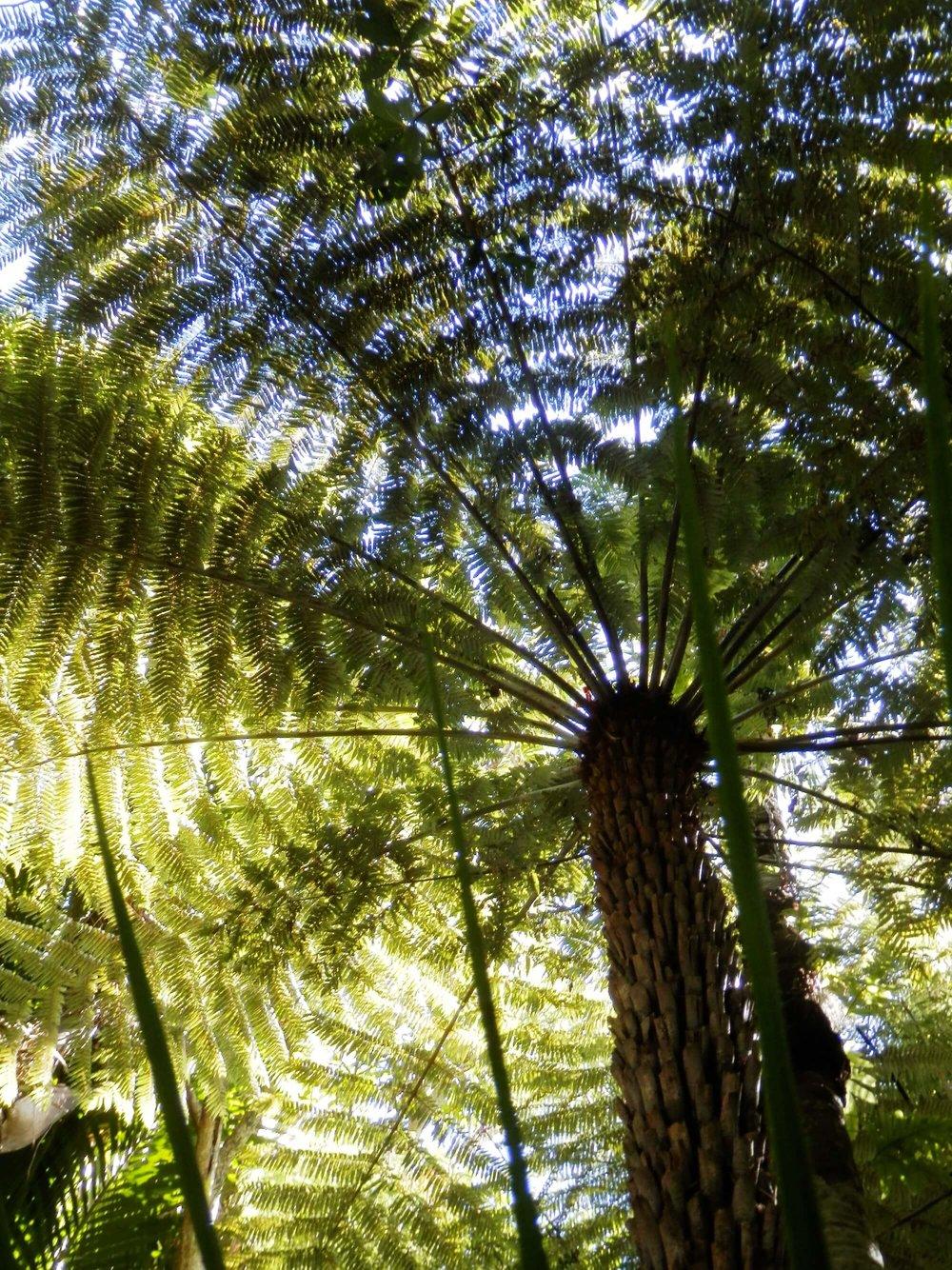 Fern tree2.jpg