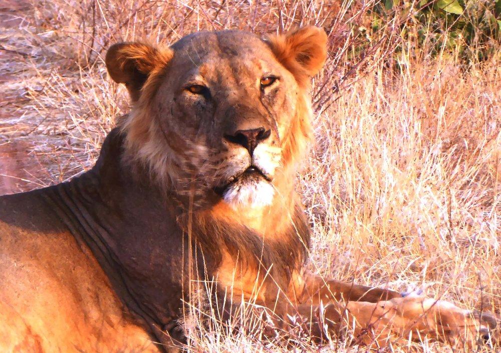 Lion face 8x10.JPG